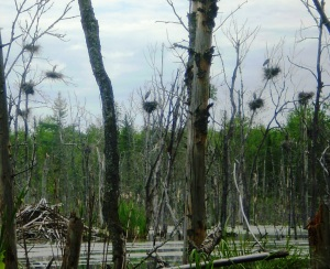 Great blue heron nests are often found in snags located in beaver flowages. Photo by Michael Merchant.