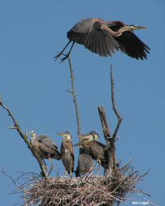 Adult great blue heron in flight over a nest with five young. Photo by Ron Logan.